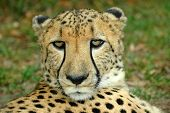 A beautiful face with alert expression of an African Cheetah predator head portrait watching other Cheetahs in a game reserve in South Africa poster