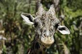 Head shot of a Ugandan Giraffe staring at camera poster