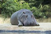 Hippo relax in Zoo Berlin. Adult hippopotamus lying and resting on the island in the aviary. Greenery background. poster