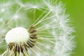 close-up of taraxacum seed head poster