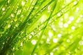 Fresh morning dew on spring grass, natural background - close up with shallow DOF. poster