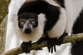 Black-and-white ruffed lemur (Varecia variegata) head on. Critically endangered lemur endemic to the island of Madagascar and the largest extant member of the family poster