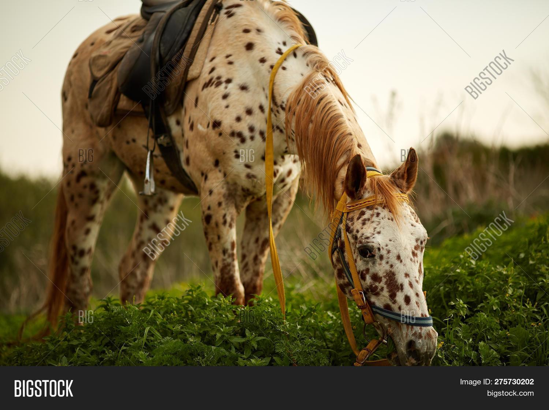 White Appaloosa Horse Image Photo Free Trial Bigstock