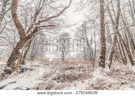 Snow In A Forest With Barenaked Trees In Snowy Weather In The Winter
