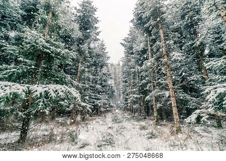 Snow Falling On Pine Trees In The Forest And Covering It All With White Snow