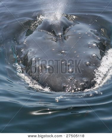 A curious Humpback whale comes at my boat