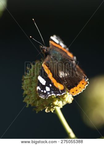 Vanessa Atalanta, The Red Admiral Butterfly In The Sun Sitting On A Ball Thistle
