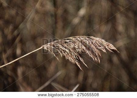 Brown Reed Along A Pool During Autumn In The Recreation Area Named Park Hitland In Nieuwerkerk Aan D