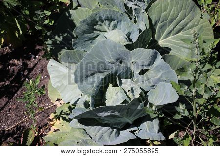 Plant Of Cauliflower In The Autumn Sun Waiting To Grown Full For The Winter