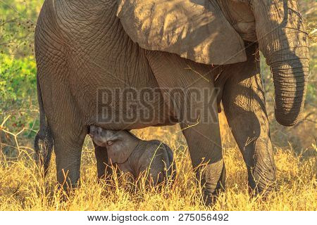 Elefant Calf Drinking Milk From Mom. Safari Game Drive In Pilanesberg National Park, South Africa. T
