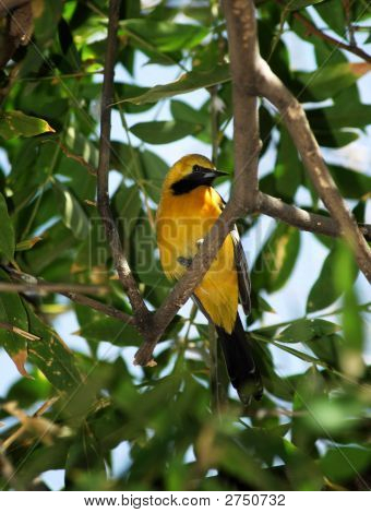 A Hooded Oriole perches on a branch. poster