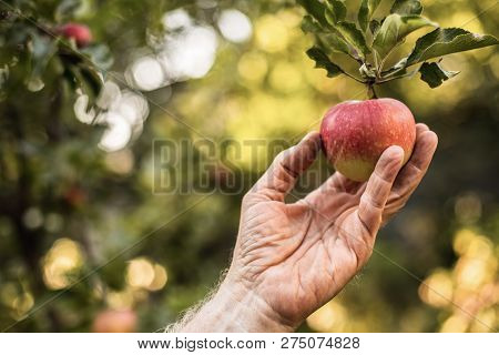 Senior Male Hand Is Picking Red Apple