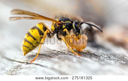 The Common Wasp (vespula Vulgaris) Is A Social Wasp That Can Form Nests As Small As A Dozen Or So In