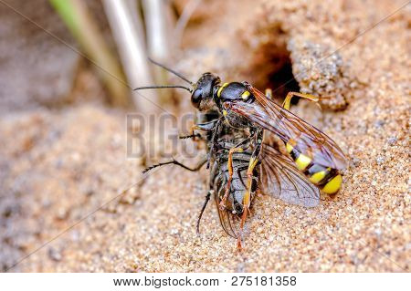 This Is The Field Digger Wasp, Mellinus Arvensis In Our Rear Garden, September. The Wasp Hunts For A