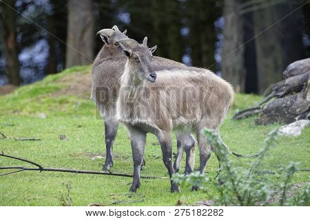Himalayn Tahr - Hemitragus Jemlahicus  Endangered Sheep From The Hymalayas