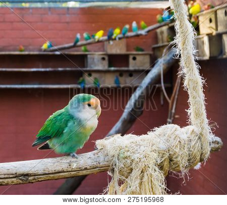 aviculture, Dutch Blue Peach Face Lovebird , sitting on a branch in the aviary poster