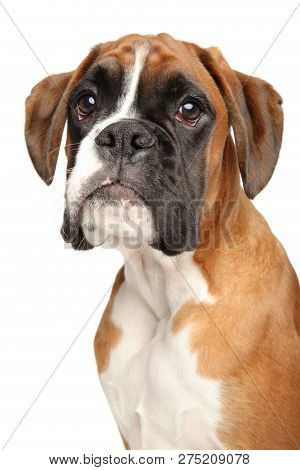 Portrait Of Cute Boxer Dog Puppy, Isolated On White Background. Animal Themes