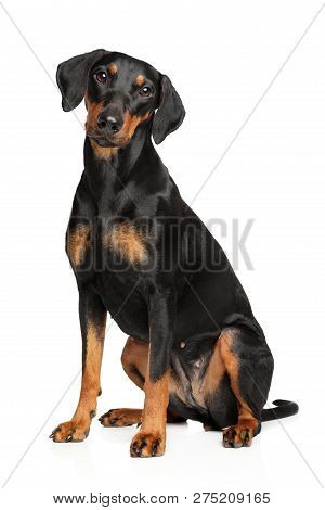 Adorable German Pinscher Sitting On White Background. Animal Themes