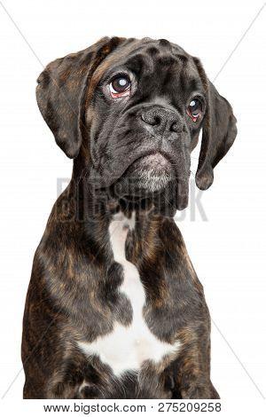 Portrait Of Sad Young German Boxer Dog, Isolated On White Background. Baby Animal Theme