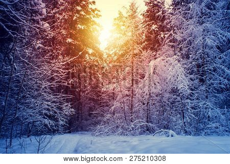 Winter Snow Forest Trees Sunset Background. Red Sunset In Winter Snow Forest Trees Scene. Winter Sun