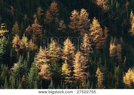 Autumn Alpine Larch Trees