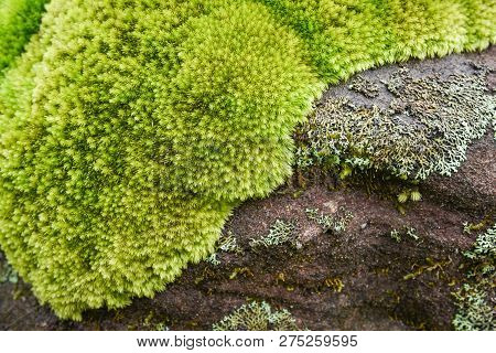 Beautiful Moss On The Rock Plant / Green Moss With Grass Close Up Moss Grows Nature