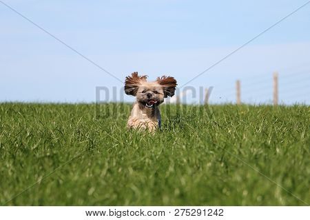 Beautiful Small Lhasa Apso Is Running In The Garden