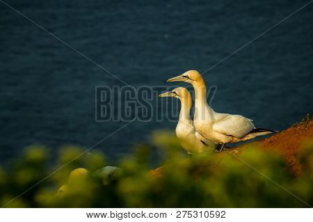 Northern Gannet (morus Bassanus), Mating Gannets On Cliffs, Helgoland In Germany, Bird Colony, Beaut