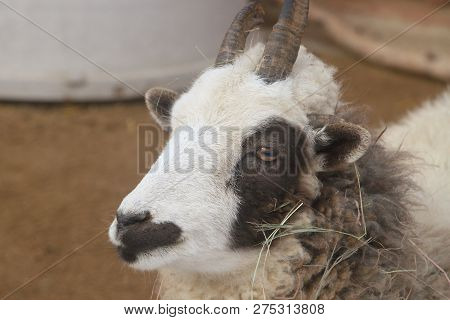 A Closeup Of The Head A Domesticated Jacob Sheep. The Sheep Are Named After The Biblical Jacob From