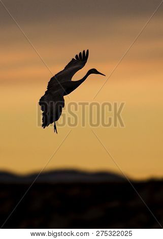 Sandhill Crane (Grus canadensis) at sunset preparing to land - Bosque del Apache National Wildlife Refuge, New Mexico poster