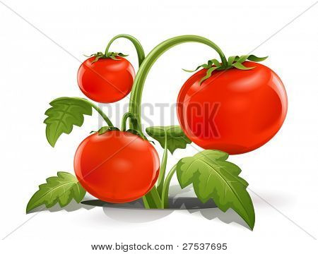 red ripe tomato vector illustration isolated on white background