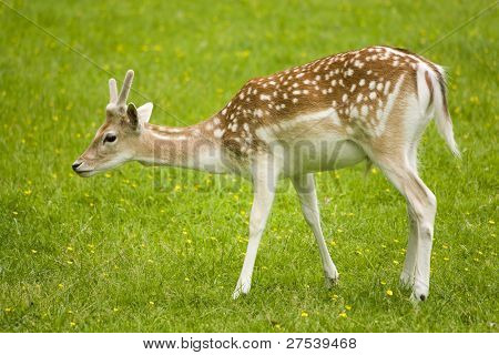 attentive fallow deer fawn, interrupted from grazing on spring meadow