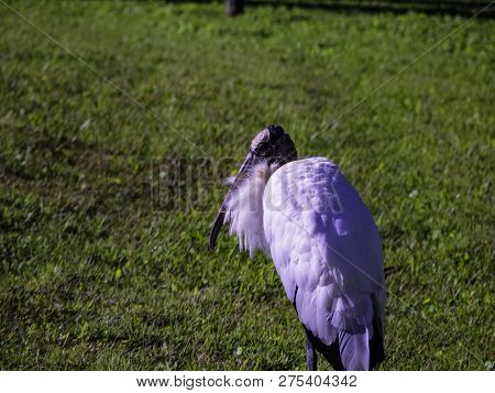 This Great Bird Was Walking Among The World. He Is Not Really Wild. Photo Taken At Daytona, Florida,