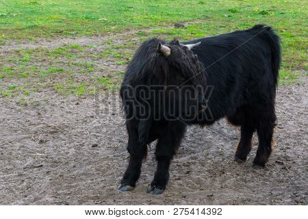 Juvenile Black Highland Cow, A Young Bovine