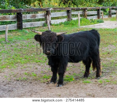 Juvenile Black Highland Cow Standing In The Pasture, Portrait Of A Young Bovine