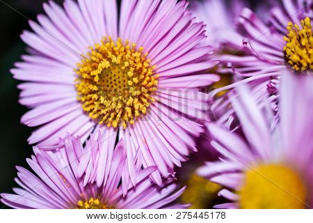Lilac Chrysanthemums Macro. Gentle Fuchsia Garden Flowers. Springtime, Summer, Autumn. Blooming Flor