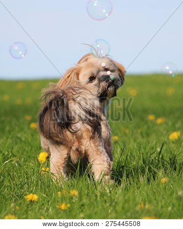 Beautiful Lhasa Apso Is Standing In The Garden With Dandelions And Looking Up To Flying Soap Bubbles