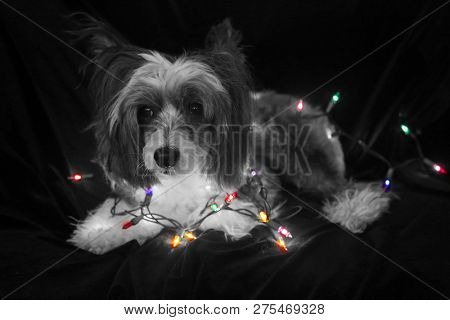 Christmas Dog. Christmas Dog. Chinese Crested dog. Chinese Crested Dog with Christmas lights. Isolated on black velvet. room for text overlay. Black and White.  black and white colorized