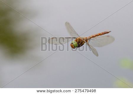 Sympetrum Is A Genus Of Small To Medium-sized Skimmer Dragonflies. Dragonfly Flattened ( Sympetrum D