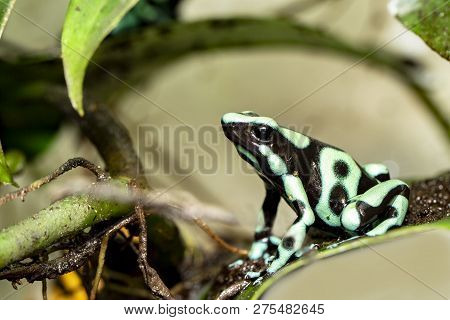Golden Poison Dart Frog Dendrobates Auratus Poisonous Animal With Bright Warning Colors Lives In Tro