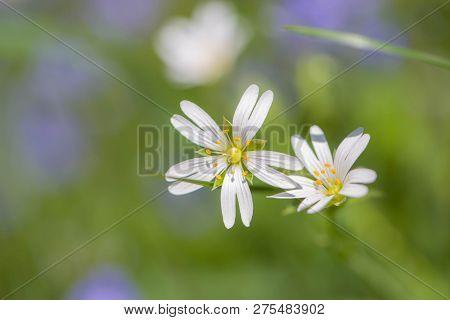 Stellaria Holostea. Wild White Spring Flowers In Grass