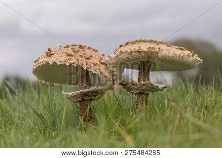 Parasol mushroom (Macrolepiota procera or Lepiota procera) growing in the wood poster