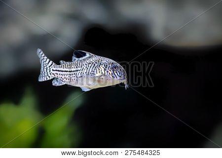 The Corydoras Trilineatus A Popular Freshwater Aquarium Fish