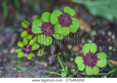 Lucky Clover, Four-leaf Sorrel With 4 Hairy Leaflets, Also Called Iron Cross (oxalis Deppei)