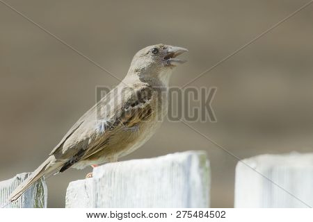 Close Up Of A Sparrow In Nature. Amazing Nature. Close Up Of A Sparrow In Nature. Sparrow. Nature. S
