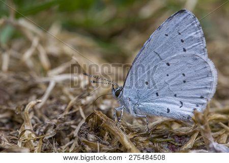 Glaucopsyche Alexis, Green-underside Blue Butterfly In Grass. Little Blue Butterfly In Meadow