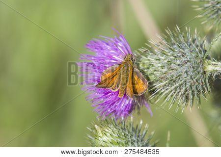 Flower Head Of Milk Thistle, Medicinal Wild Plant, Silybum Marianum