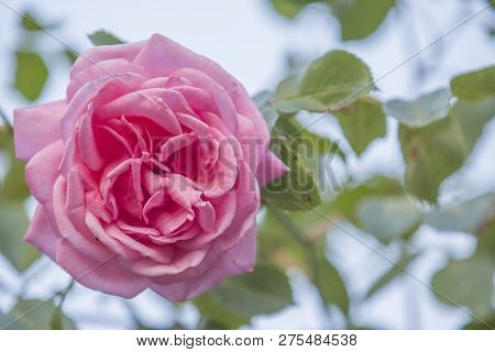 Beautiful Rose Flower In Garden. Roses In Tropical Garden. Red,oange Yellow Pink Rose. Pink Rose Bac