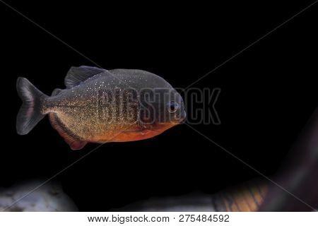Red Piranha (pygocentrus Nattereri), Also Known As The Red-bellied Piranha.