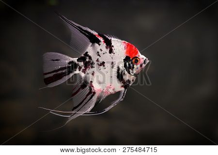 Freshwater Angelfish Or Marbled Angelfish That Has A Black White And Red Pattern